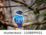 blue kookaburra bird  an... | Shutterstock . vector #1108899431