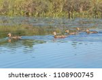 group of 4 blue winged teal... | Shutterstock . vector #1108900745