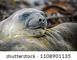 juvenile elephant seals lie in... | Shutterstock . vector #1108901135