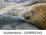 juvenile elephant seals lie in... | Shutterstock . vector #1108901141