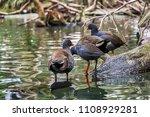 three dusky moorhens  a water... | Shutterstock . vector #1108929281