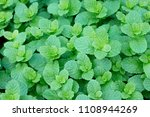 top views of fresh mint leaves... | Shutterstock . vector #1108944269
