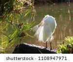 this great egret  ardea alba  ... | Shutterstock . vector #1108947971