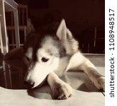 crying siberian husky   Shutterstock . vector #1108948517