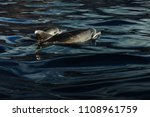dolphins swimming in atlantic... | Shutterstock . vector #1108961759