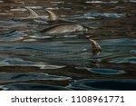 dolphins swimming in atlantic... | Shutterstock . vector #1108961771