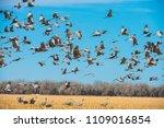 Spring Migrating Sandhill...
