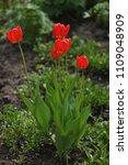 tulips on the flowerbed in... | Shutterstock . vector #1109048909