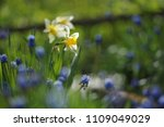 narcissus on the flowerbed in... | Shutterstock . vector #1109049029
