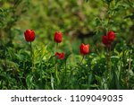 red tulips on the flowerbed in... | Shutterstock . vector #1109049035