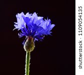 Small photo of flowers Centaurea isolated on a black background