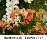 orchids flower  orchids closed... | Shutterstock . vector #1109063789