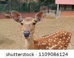 Close Up Of Young Brown Deer I...