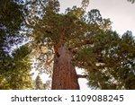 mariposa grove yosemite ... | Shutterstock . vector #1109088245