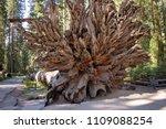 mariposa grove yosemite ... | Shutterstock . vector #1109088254