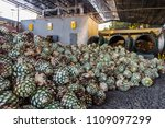 agave pulps ready to the...   Shutterstock . vector #1109097299
