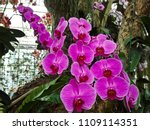 orchids flower  orchids closed... | Shutterstock . vector #1109114351