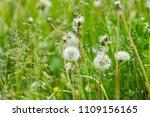 summer white dandelions in the... | Shutterstock . vector #1109156165