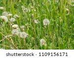 summer white dandelions in the... | Shutterstock . vector #1109156171