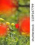 tulips on the flowerbed in... | Shutterstock . vector #1109167799