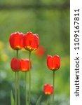 tulips on the flowerbed in... | Shutterstock . vector #1109167811