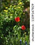 tulips on the flowerbed in... | Shutterstock . vector #1109167829