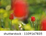 tulips on the flowerbed in... | Shutterstock . vector #1109167835
