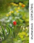 tulips on the flowerbed in... | Shutterstock . vector #1109167841