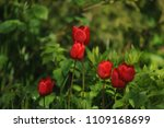 red tulips on the flowerbed in... | Shutterstock . vector #1109168699