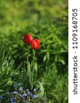 red tulips on the flowerbed in... | Shutterstock . vector #1109168705