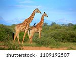 two giraffes near the forest ... | Shutterstock . vector #1109192507