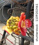 cannonball tree flowers and...   Shutterstock . vector #1109202461