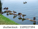 Egyptian Geese On The Water...