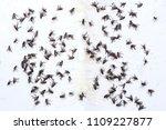 fly glue trap. dead flies... | Shutterstock . vector #1109227877