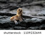 Sea Lion Cub South America...