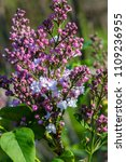 lilac of the species of ...   Shutterstock . vector #1109236955
