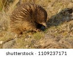 echidnas sometimes known as... | Shutterstock . vector #1109237171