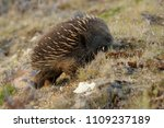 echidnas sometimes known as... | Shutterstock . vector #1109237189