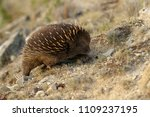 echidnas sometimes known as... | Shutterstock . vector #1109237195