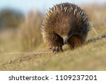 echidnas sometimes known as... | Shutterstock . vector #1109237201