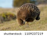 echidnas sometimes known as... | Shutterstock . vector #1109237219