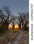sunrise at baines baobabs | Shutterstock . vector #1109262737
