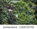 monkeys endangered species is... | Shutterstock . vector #1109270735