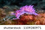 nudibranch  flabellina affinis  ... | Shutterstock . vector #1109280971