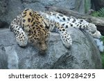 amur leopard on a rock | Shutterstock . vector #1109284295