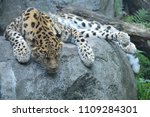 amur leopard on a rock | Shutterstock . vector #1109284301