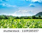 Organic Corn Maize Cornfield Farm - Fine Art prints