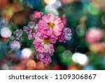 blooming roses and buds on a... | Shutterstock . vector #1109306867