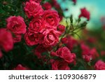 blooming roses and buds on a...   Shutterstock . vector #1109306879