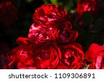 blooming roses and buds on a... | Shutterstock . vector #1109306891